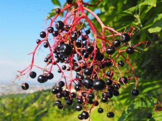 Native American Foods: Huckleberries