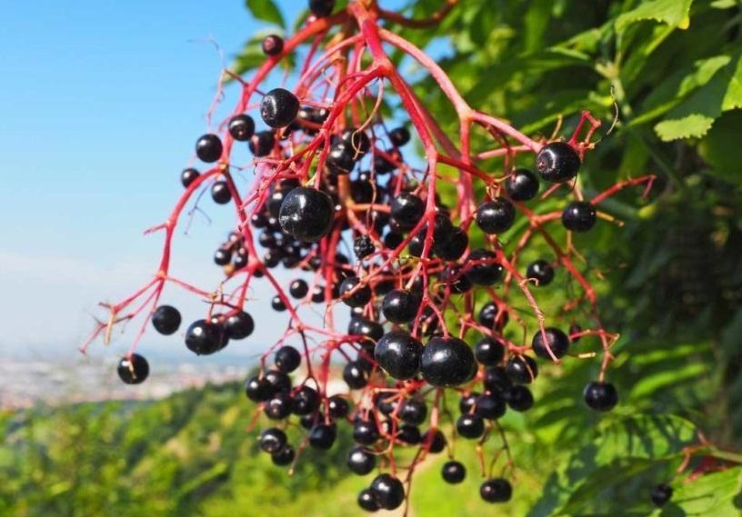 Native American Foods Huckleberries