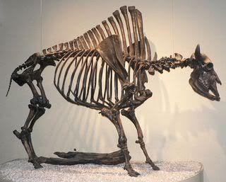 Bison_antiquus_p1350717