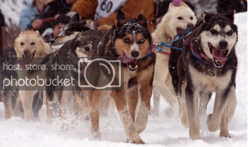 Iditarod dogs, Photo Courtesy of Frank Kovalchek