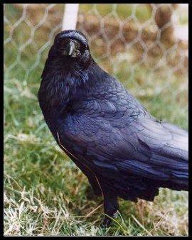 Raven002